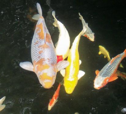 Zpz teichfische teichpflanzen zubeh r teichbau for Teichfische verkauf